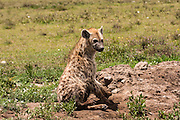 Spotted Hyena (Crocuta crocuta). Photographed in Tanzania