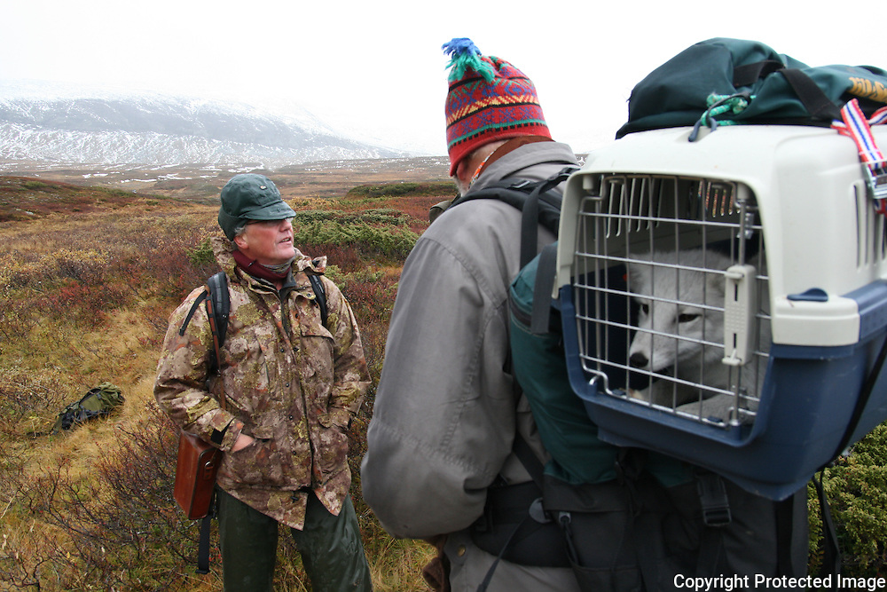 Utplassering av fem fjellrev i Sylene. Nina-forsker Arild Landa ledet troppene som bar fjellrevene inn i fjellet. Olav Nyrønning fra Fjellrevgruppa med ryggen til. Foto: Bente Haarstad The Arctic Fox (Alopex lagopus), also known as the White Fox, Polar Fox or Snow Fox, is a small fox native to Arctic regions of the Northern Hemisphere. As the most treatened species of mammals in Norway, the authorioties try to strengthen the population be breeding from captured individuals. And bringing the young ones to where they once belonged. Like here in Tydal and the Sylene mountains.