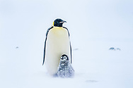 Emperor parent with its nine week old chick.  Gould Bay, Weddell Sea, Antarctica