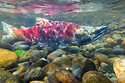 A male sockeye salmon (Oncorhynchus nerka) swims up the Cedar River in Renton, Washington, on its way to spawn. Sockeye salmon are also known as blueback salmon, as they are blue tinged with silver while they live in the ocean; they turn red once they return to their freshwater spawning grounds.