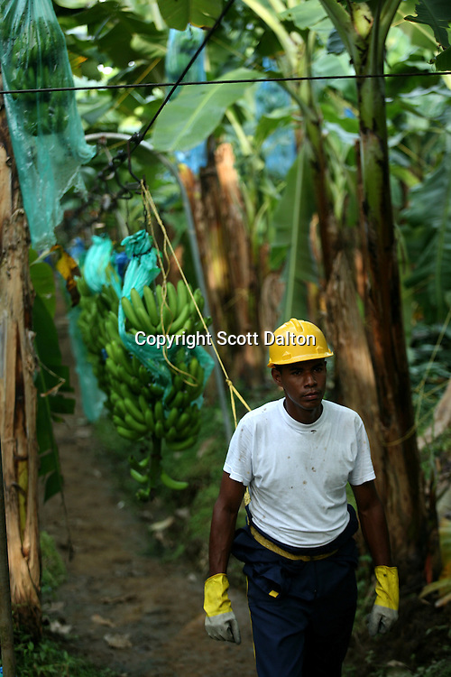 A worker pulls freshly cut stems of bananas at a Banacol plantation in Apartado on August 23, 2007. Colombia?s banana region was once a stronghold for illegal armed groups who apparently funded their wars by taxing the banana industry. American banana executives of the Cincinnati-based fruit giant Chiquita have acknowledged making monthly protection payments for six years to illegal groups that killed thousands of people. (Photo/Scott Dalton).