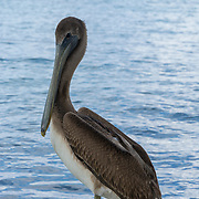 Brown Pelican. Rum Point. Grand Cayman Island.
