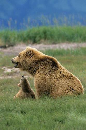 Alaskan Brown Bear, (Ursus middendorffi) Mother sitting with cub looking left, cub looking up at mother, Katmai National Park. Alaska