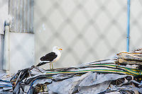 A Kelp Gull perches outside of a fish processing factory, Lamberts Bay, Western Cape, South Africa