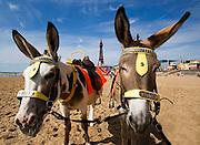 Blackpool Donkeys