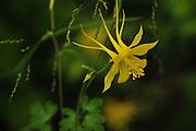 Golden Columbine, (Aquilegia chrysantha), grows along a stream along Marshall Gulch Trail, Mount Lemmon, Pusch Ridge Wilderness, Santa Catalina Mountains, Coronado National Forest, Sonoran Desert, Summerhaven, Arizona, USA.  The area is a Sky Island.