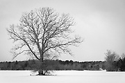 Bare tree on snow-covered farm, Newbury, Massachusetts.