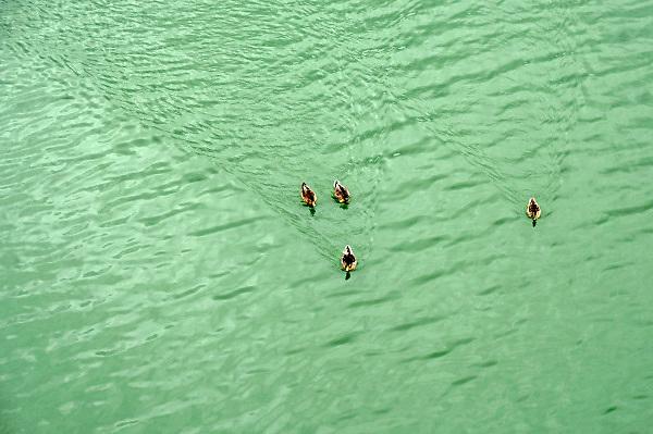 Nederland, Nijmegen, 15-8-2018 Eenden zwemmen in groen water in een kanaal . Door het warme weer en doordat de doorstroming in het MaasWaal kanaal erg laag is vanwege de lage waterstand in de maas en waal is het water groen gekleurd door de algen . Het is blauwalg die bij regenval en lagere temperaturen vanzelf verdwijnt . Het kanaal is verboden om in te zwemmen dus wordt er geen aperte waarschuwing voor afgegeven. Foto: Flip Franssen