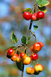 Crab apple - Malus x robusta 'Red Sentinel' against a blue sky