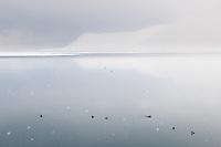Teist på den islagte Isfjorden ved Longyearbyen på Spitsbergen, Svalbard. Mars.