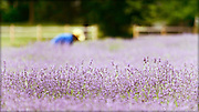 Beautiful lavender at Lavender by the Bay in East Marion, Long Island.  If you have never been here, make it a point to go.  In addition to offering wonderful lavender products and the ability to walk through the fields, they are friendly and wonderful people.
