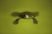 Turtle floating in pond
