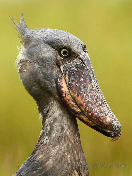 Shoebill, Balaeniceps rex, Mabamba Swamp, Uganda, by Markus Lilje