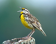 A male Eastern Meadowlark (Sturnella magna) singing from a favorite perch (Indiana)
