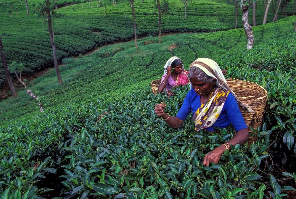 Tea pickers, Kandy plantation