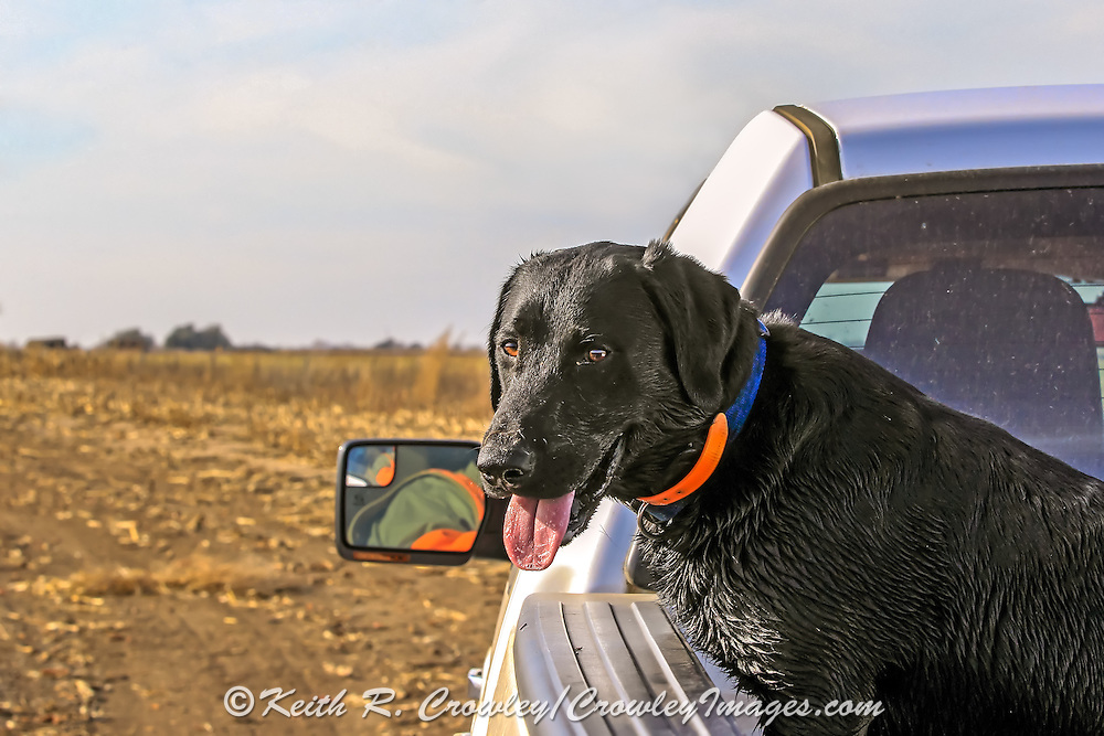 A Black Lab rides in the bed of a pick-up during a pheasant hunt in South Dkota