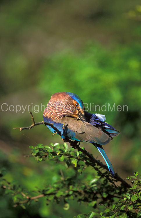 An Indian roller preens the feathers on it's back.