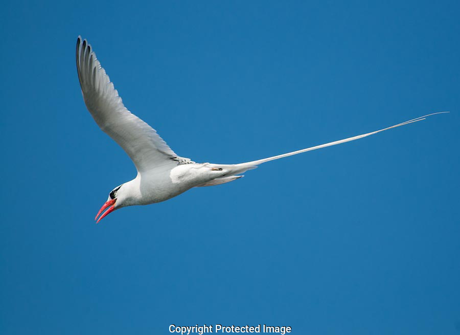 We marved at the long tail of the Tropicbird as it flew from nexting cliffs to feeding grounds in the ocean.