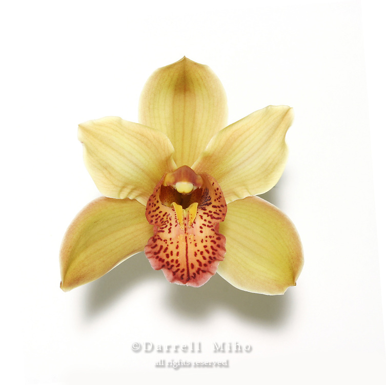 yellow and orange cymbidium orchid on white background with drop shadow.<br />