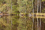 Forest reflections on Loch Garten, Abernethy Forest National Nature Reserve, Cairngorms National Park, Scotland, Uk