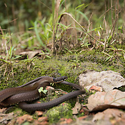 Collared Blackhead (Sibynophis collaris) in Phu Hin Rong Kla national park, Thailand