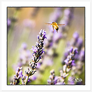 Avonlea Lavender Collection Greeting Cards