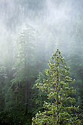 WA13378-00...WASHINGTON - Misty morning along the Dosewallips River Road in the Olympic National Forest.
