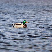 """""""Mallard Duck"""" 2"""