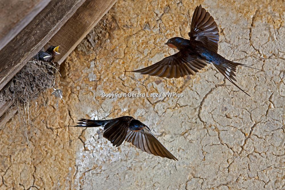 BARN SWALLOW OR EUROPEAN SWALLOW hirundo rustica