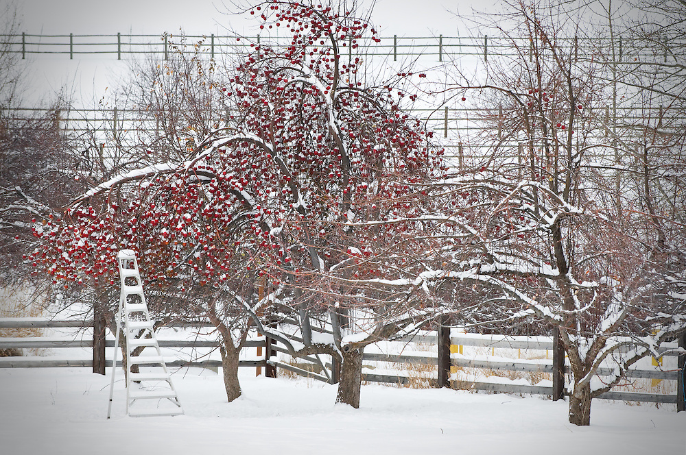 First winter snow in an apple orchard.