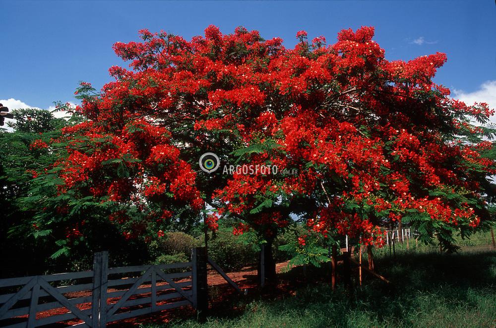 Crissiumal, RS, Brasil     2002.Conhecida como Flamboyant no Brasil e Acacia-rubra em Angola e Mocambique, a Delonix regia eh uma arvore da familia das leguminosas (Fabaceae). Nativa de Madagascar, no continente africano/ e Royal Poinciana, Delonix regia (family Fabaceae), is a tropical or subtropical flowering plant. It is also known by the names Gulmohar, Flamboyant Tree, Peacock Flower, Flame of the Forest, and Flame Tree..foto: Adri Felden / Argosfoto