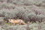 A Fox in Grand Teton National Park wondering through sagebrush hunting for food