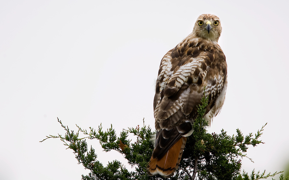 "A Red-tailed Hawk (Buteo jamaicensis) sits atop a tree at Sandy Hook Nation Park in Highlands New Jersey.  The hawk is a medium-sized bird of prey, one of three species colloquially known in the United States as the ""chickenhawk."" A Red-tailed Hawk (Buteo jamaicensis) sits atop a tree at Sandy Hook Nation Park in Highlands New Jersey.  The hawk is a medium-sized bird of prey, one of three species colloquially known in the United States as the ""chickenhawk."""
