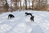 John Haugland's Labrador retriever puppies.