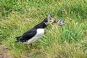 Atlantic Puffin -  Fratercula arctica smelling a blue flag Iris
