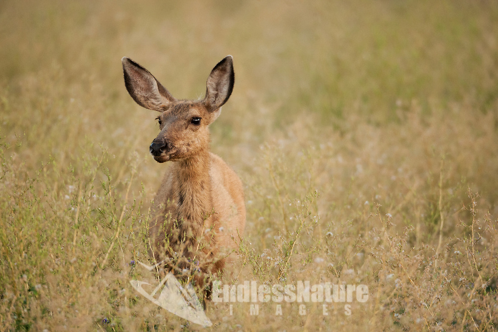 A Mule Deer doe stands in the tall grass at the edge of a wheat field.