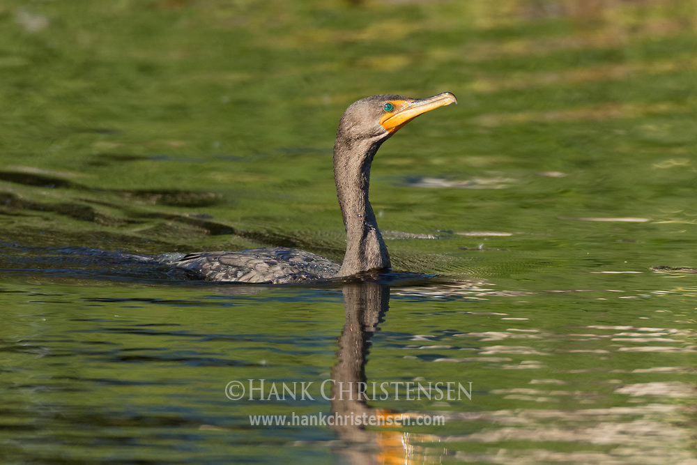 A double-crested cormorant swims through still water, Redwood Shores, CA.