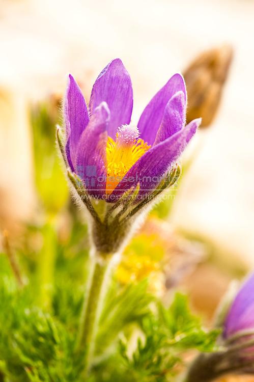 Denver Botanic Gardens, Pulsatilla vulgaris (Pasqueflower)