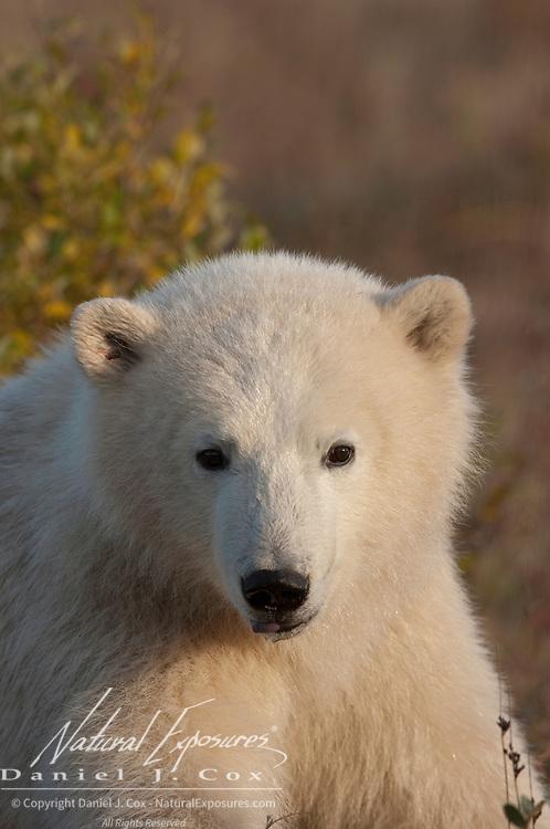 Polar Bear (Ursus maritimus) cub, south of Churchill, Manitoba, Canada.