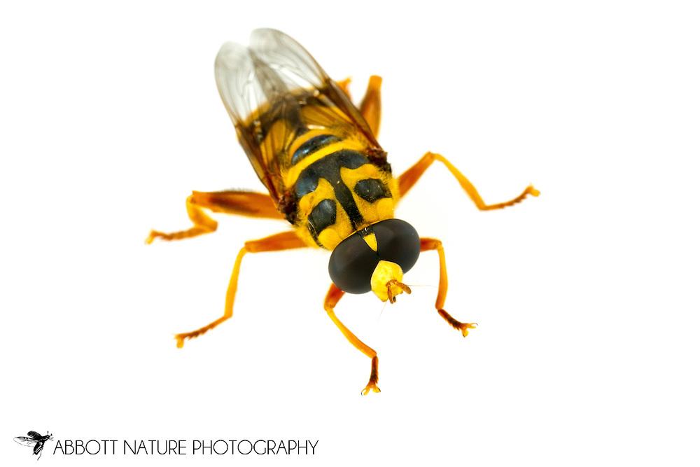 Yellowjacket Hover Fly (Milesia virginiensis)<br /> ALABAMA: Tuscaloosa Co.<br /> Tulip Tree Springs off Echola Rd.; Elrod<br /> 24-May-2016<br /> J.C. Abbott #2818 &amp; K.K. Abbott