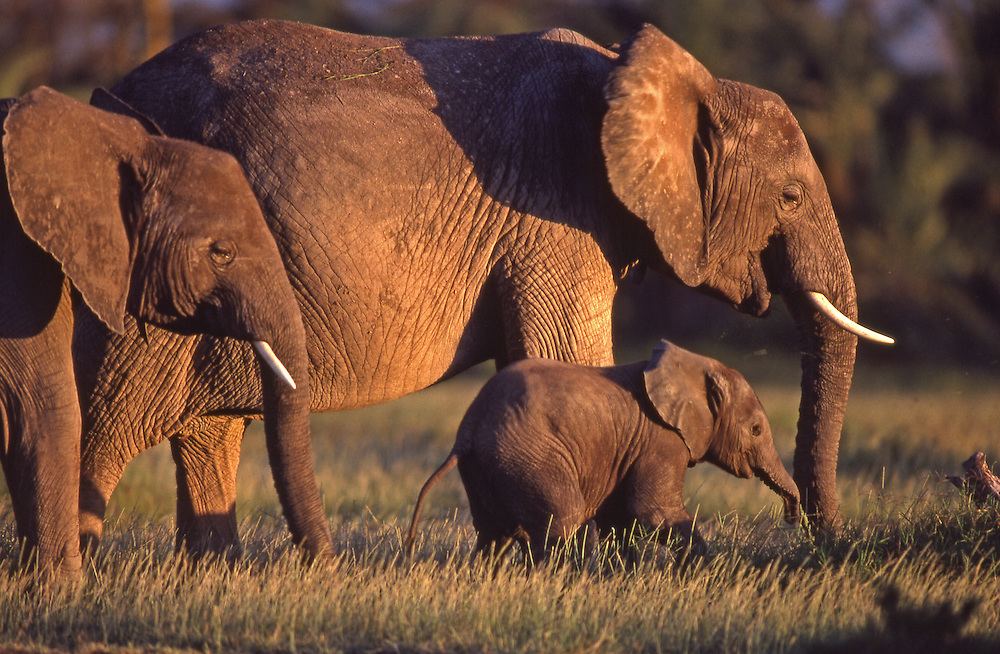 A young elephant and mother and companion graze in sunlight in Amboseli National Game Reserve, Kenya