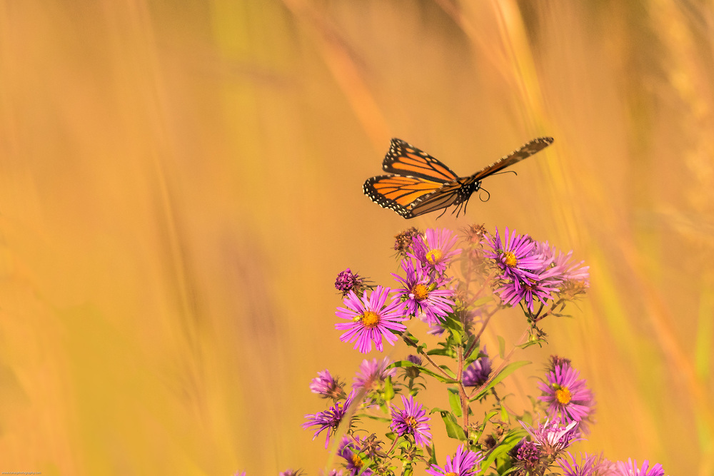 Monarch landing on aster in early fall prairie