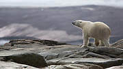 A dripping polar bear takes in the view on a tiny island just off the Svalbard coast.