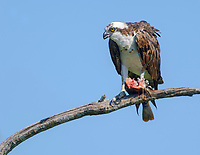 Osprey (Pandion haliaetus) feeding on a fish, Wellington, Florida, USA