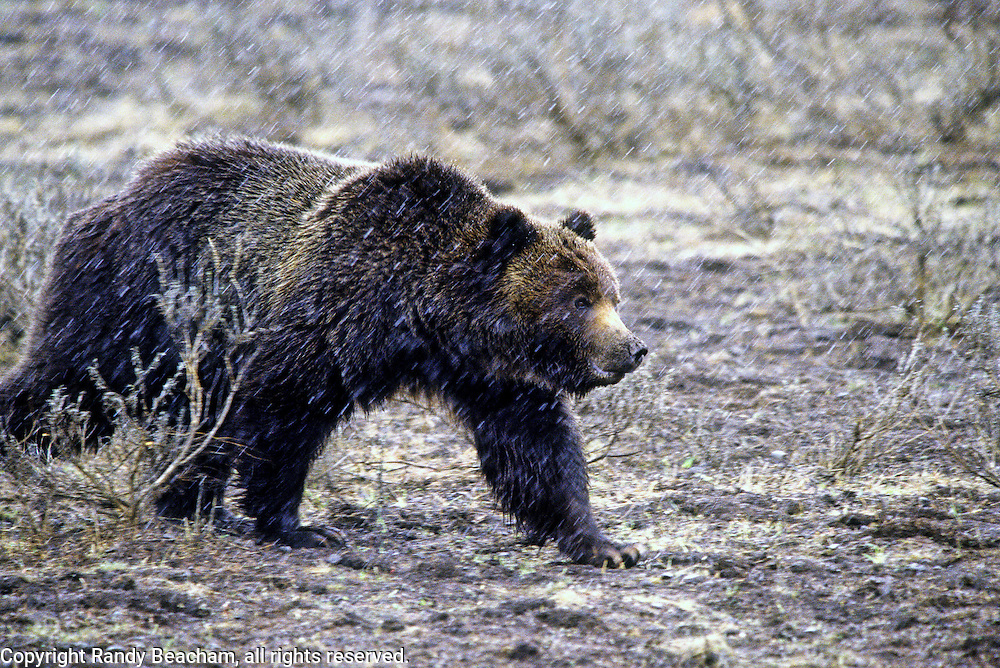 Young male grizzly bear during snowstorm in spring. Yellowstone National Park, Wyoming.