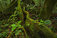 A large Fig tree (Ficus sp.) with big buttresses in the lowland rain forest, Bioko Island.
