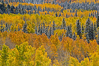 Autumn aspens [Populus tremuloides] in color after first snowfall of the season; Fremont County, Colorado
