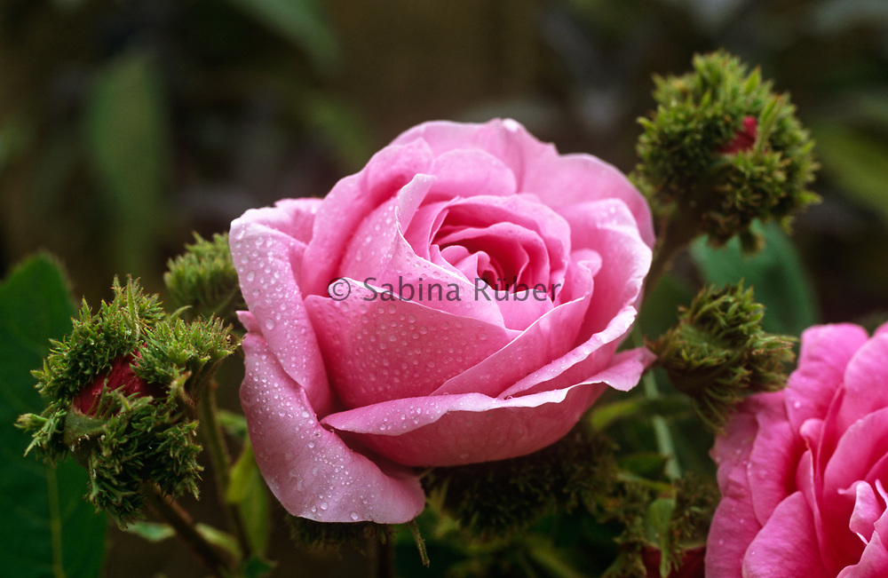 Rosa 'Chapeau de Napoléon' - shrub rose