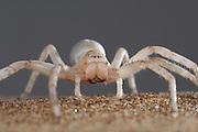 Riesenkrabbenspinne (Leucorchestris arenicola) Übersetzt bedeudet dies ?tanzende weiße Dame? (leucos gr. = weiss, orchestris gr. = Tänzerin) | Dancing White Lady Spider (Leucorchestris arenicola) in the Namib Dunes. Namib Desert sand dune
