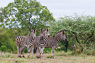 Four Zebras in the deep vegetation with a cloudy weather at Kruger National Park in south Africa<br /> photo cerdit by: &copy;Claudio Zamagni